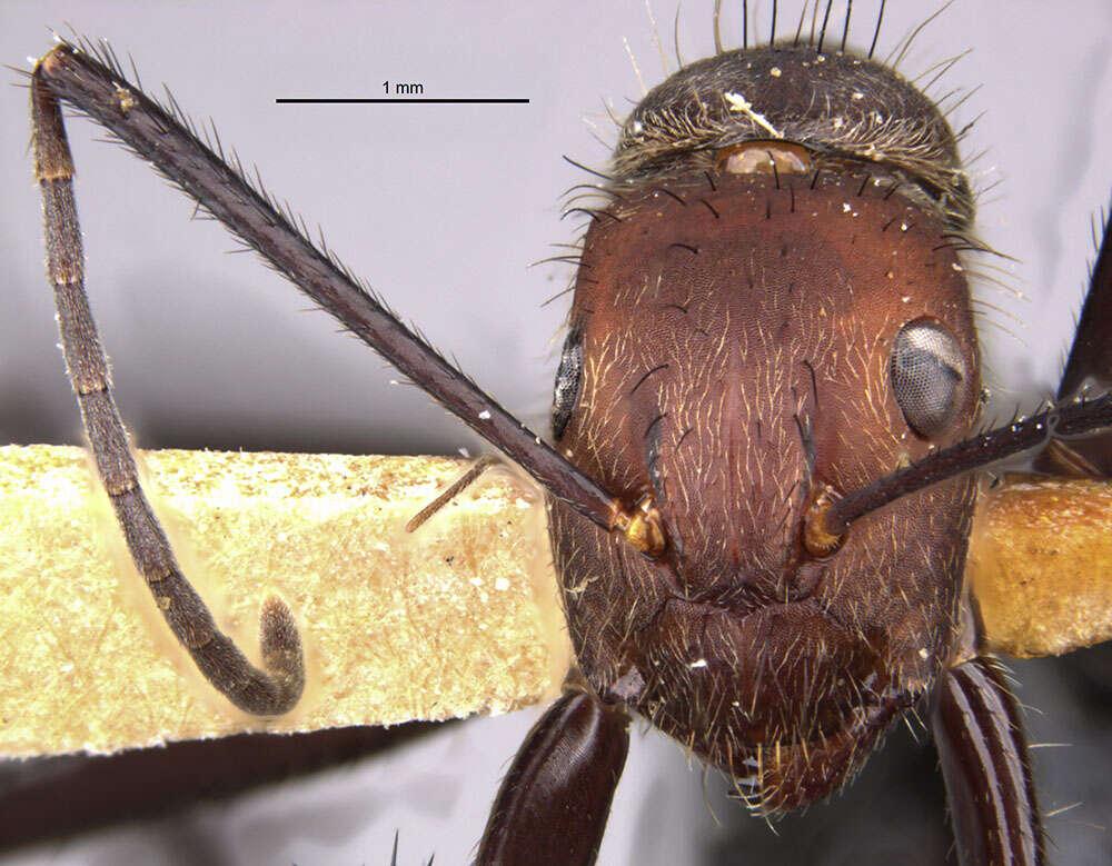 Image of <i>Camponotus wheeleri</i> Mann 1916