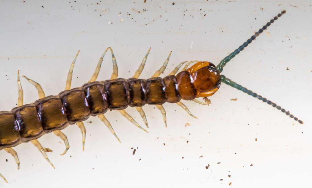 Image of centipedes