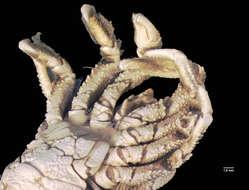 Image of Galatheoidea