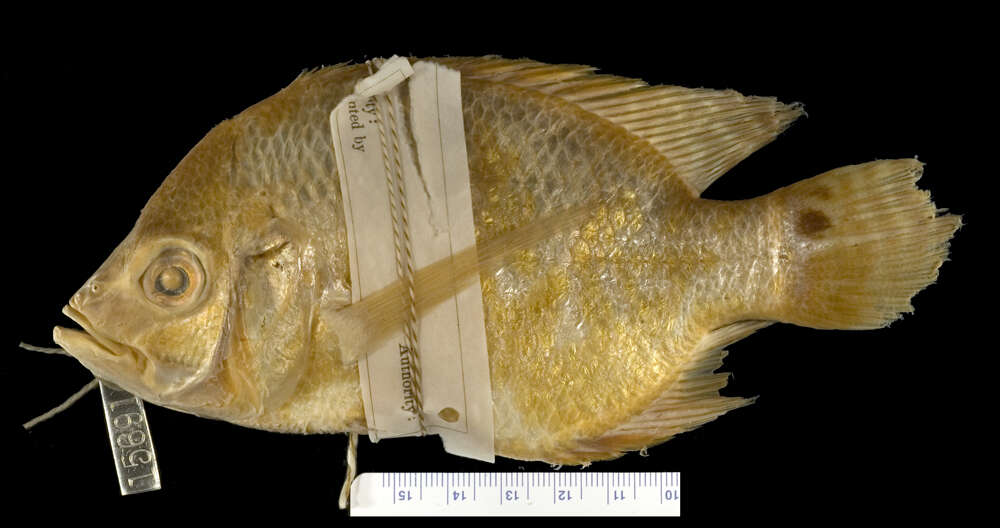 Image of Chaetobranchus