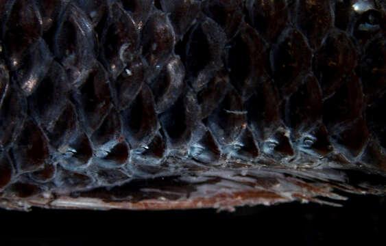 Image of Lampadena