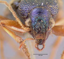 Image of Vivid Metallic Ground Beetles