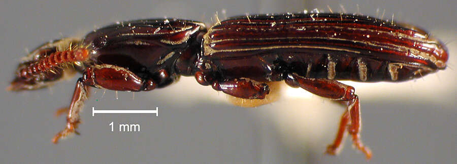 Image of Clinidium