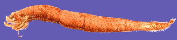 Image of Stomiinae Bleeker 1859