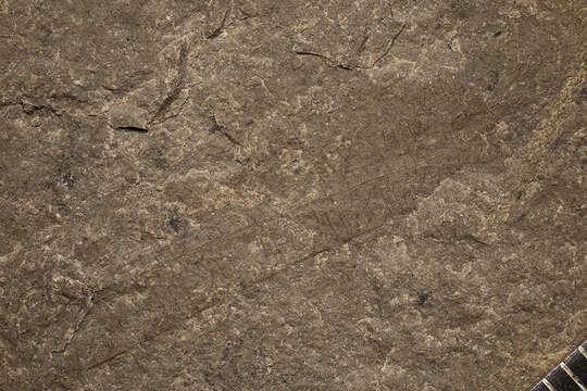 Image of Hagloidea