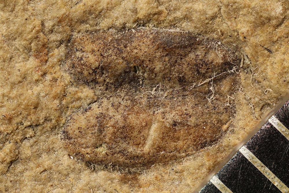 Image of Staphyliniformia