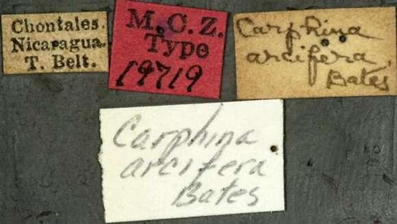 Image of Carphina