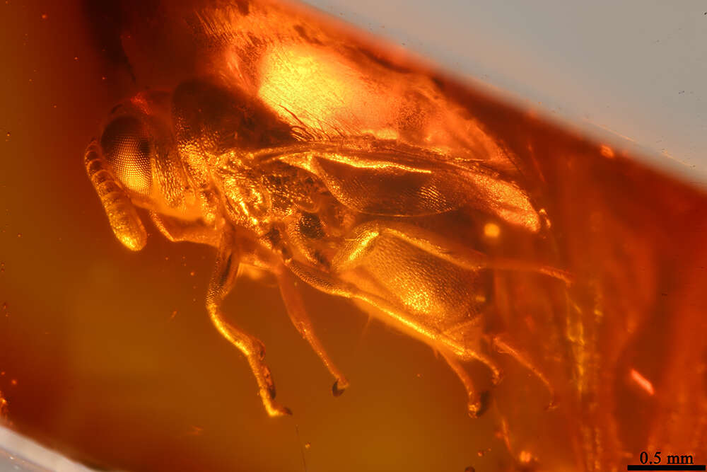 Image of perilampid wasps