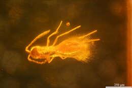Image of Mymarommatoidea