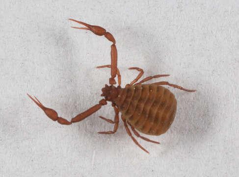 Image of Pseudogarypus