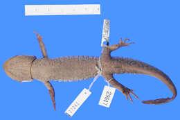 Image of mole salamanders