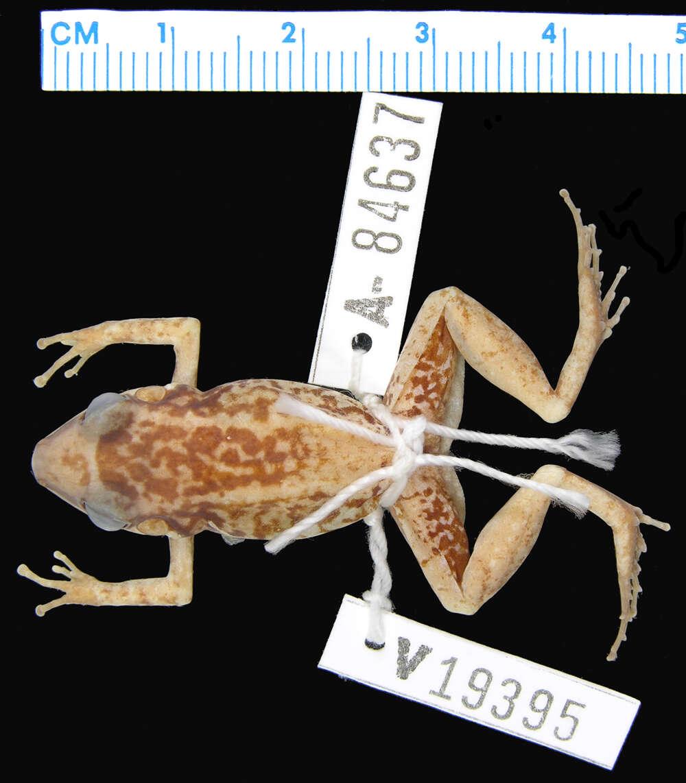 Image of <i>Eleutherodactylus paralius</i> Schwartz 1976