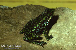Image of harlequin frogs