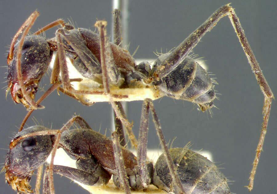 Image of Carpenter ant