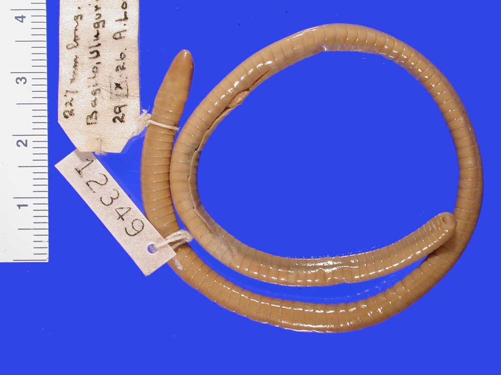 Image of Herpelidae Laurent 1984