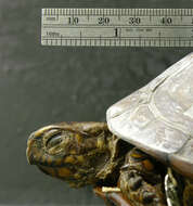 Image of Mexican box turtle