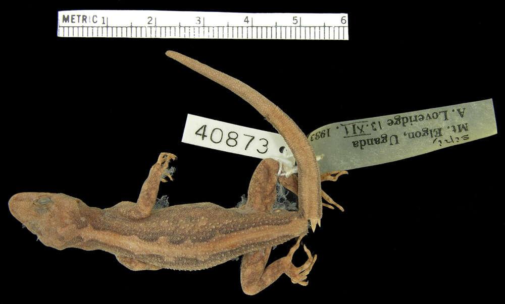Image of Cnemaspis