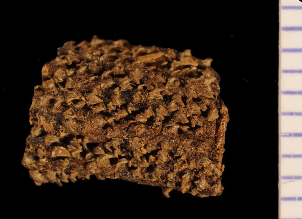 Image of Somniosus