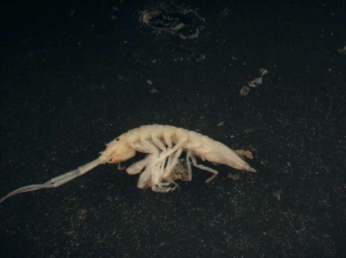 Image of Stenetrioidea