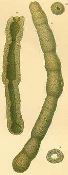 Image of Hormosinelloidea Rauzer-Chernousova & Reitlinger 1986