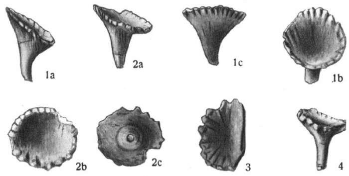 Image of unclassified Echinoidea