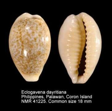Image of Eclogavena