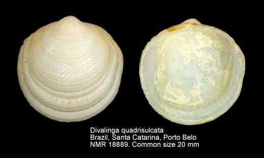 Image of Divalinga