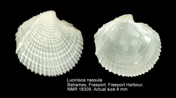 Image of Lucinisca