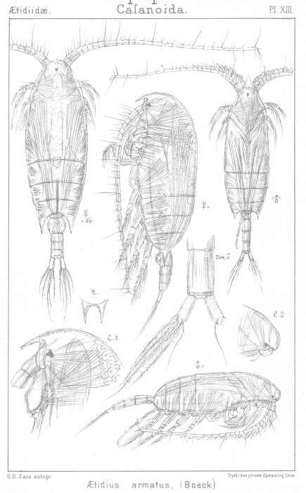 Image of Aetideus