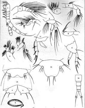 Image of Leptopsyllus