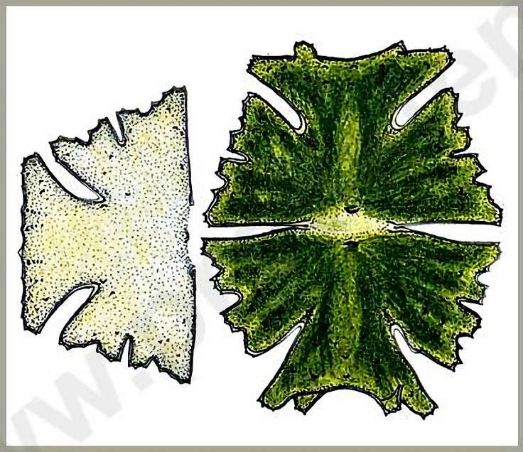 Image of Micrasterias