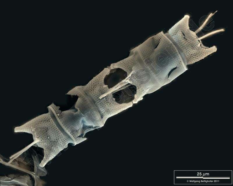 Image of Eupodiscales