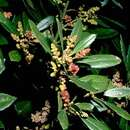 Image of firetree