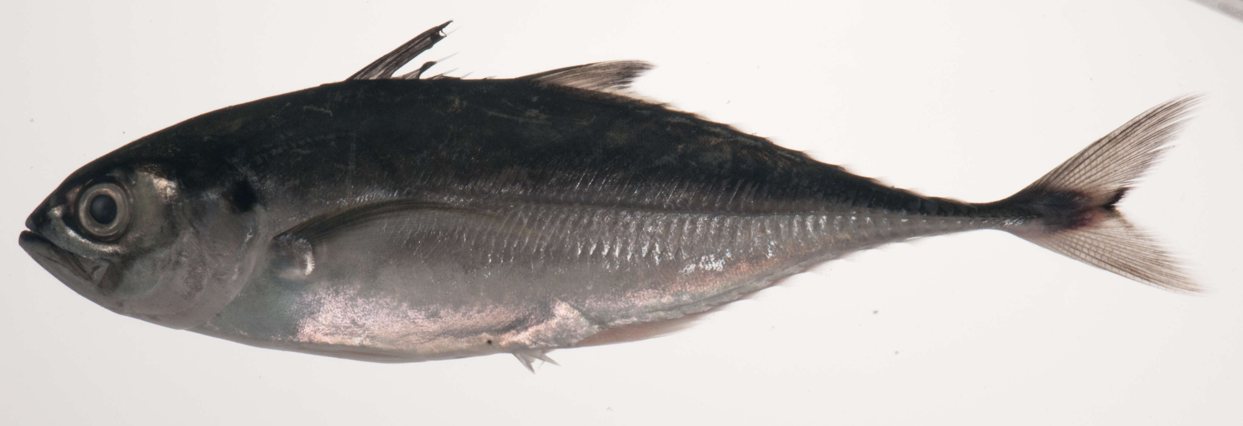Image of opisthokonts