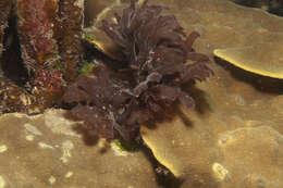 Image of red algae