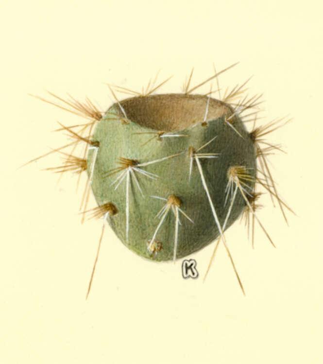 Image of Caryophyllales