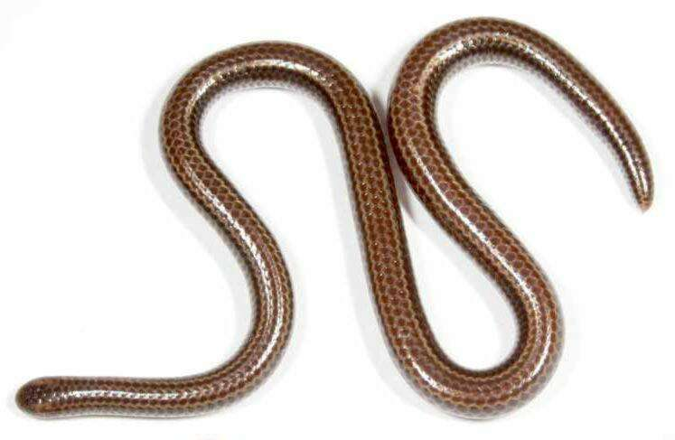 Image of threadsnakes