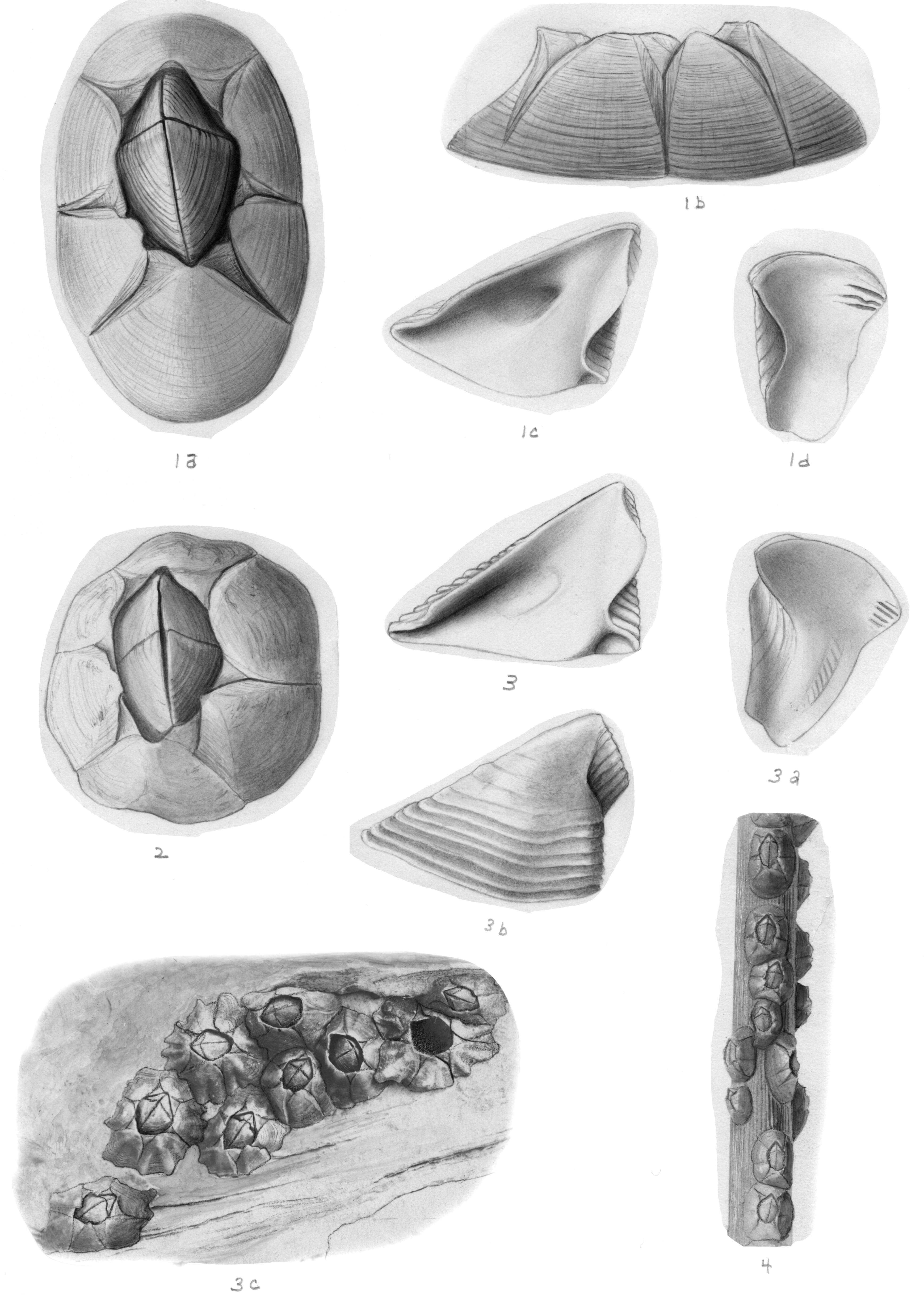 صورة Chthamaloidea