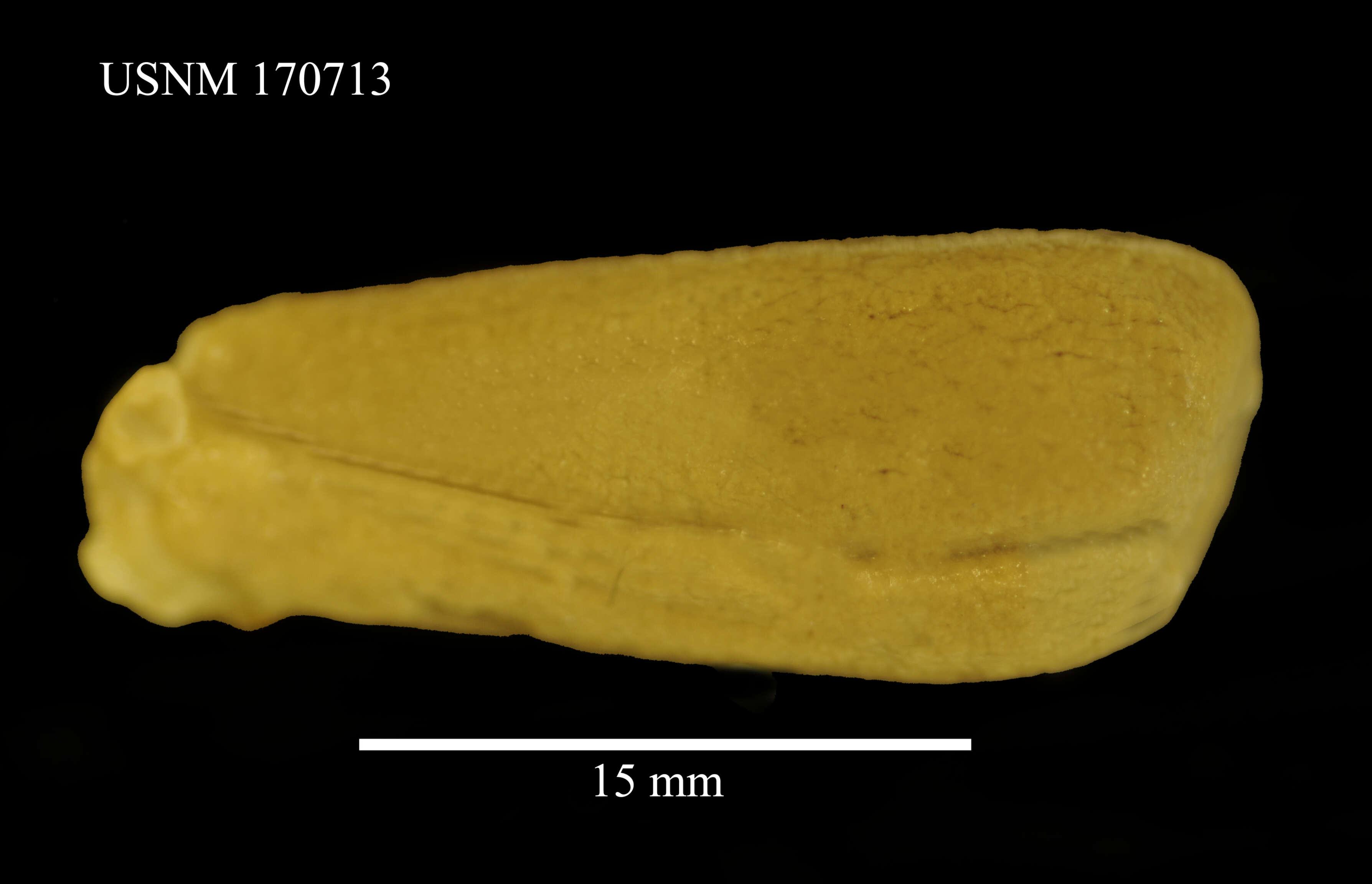 Image of peanut worms