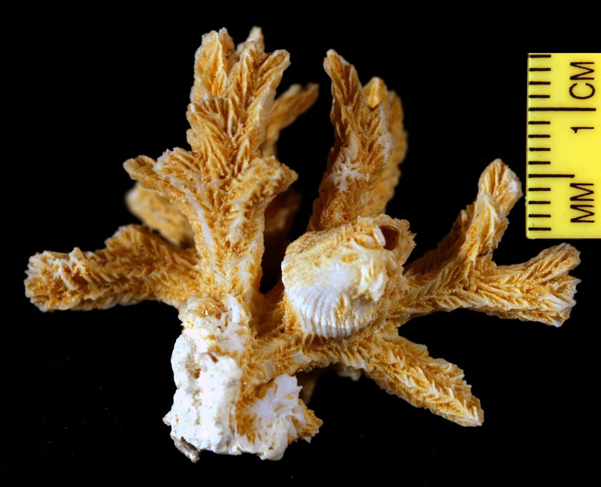 Image of Hydnophora