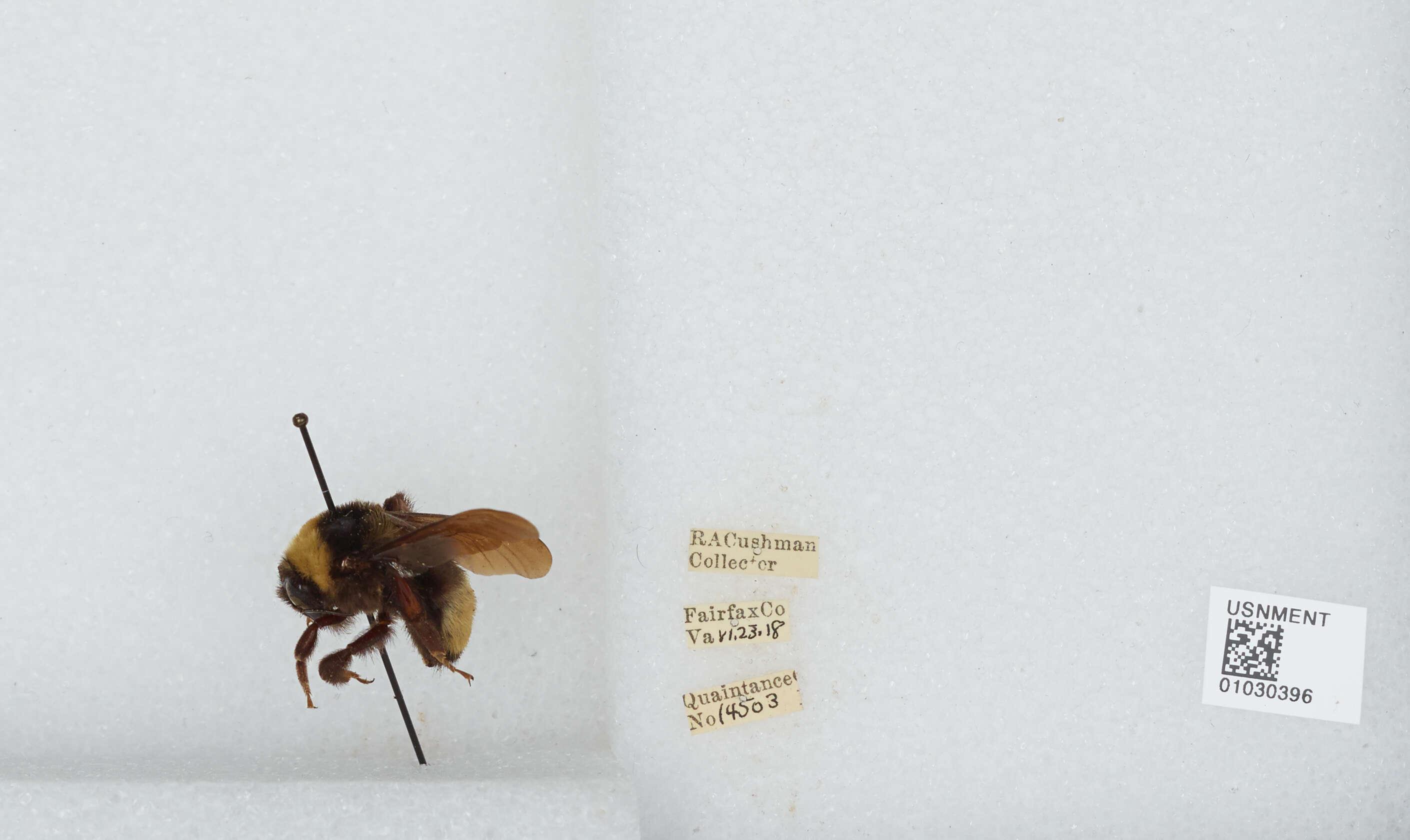 Image of Nevada bumblebee