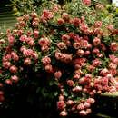 Image of memorial rose