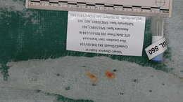 Image of comb jellies