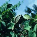 Image of Bombacaceae