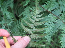 Image of lady ferns and brittle ferns