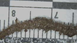 Image of segmented worms