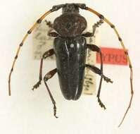 Image of Andraegoidus