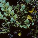 Image of Celery Pine