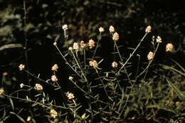 Image of Milkwort