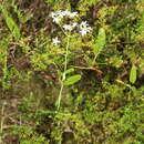 Image of largeleaf rose gentian